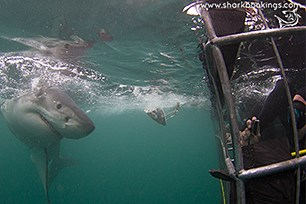 Great White Shark Safety Tips